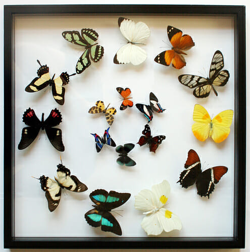 Beautiful dead butterflies